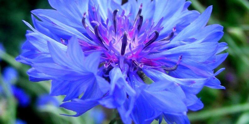 Все цветы похожие на василек как называются