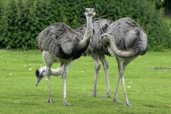 Все о разведении страусов: правила, выгода, расходы и продуктивность