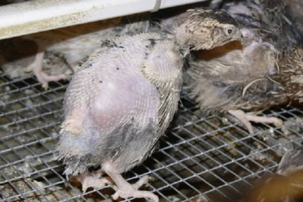 Выпадение перьев у перепелов: причины и их решение
