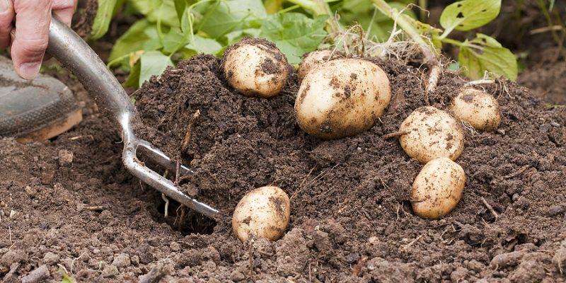 Выращиваем картошку. Не нужно верить академикам из Тимирязевки