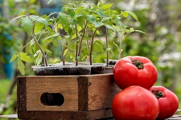 Выращивание помидоров в открытом грунте: от посадки до сбора урожая