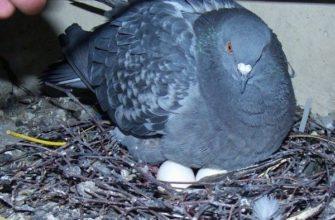 Высиживание голубиных яиц ‒ длительность и особенности