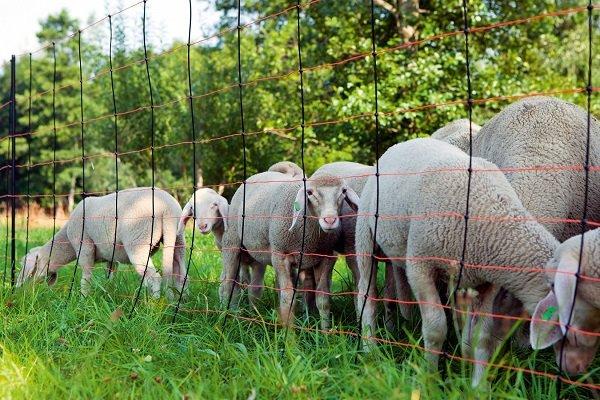 Зачем нужен электропастух для овец и как им пользоваться?