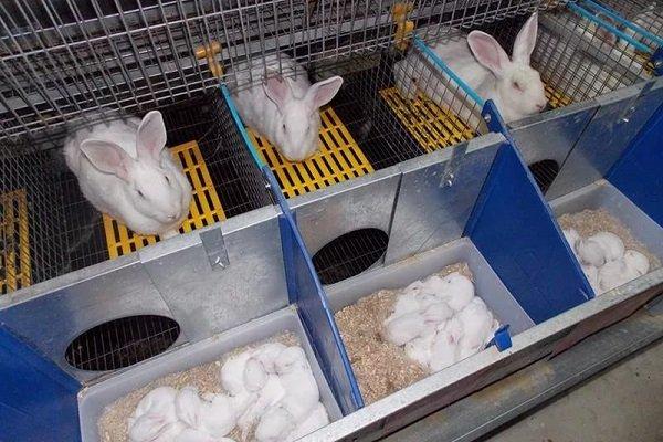 Зачем нужен маточник для кроликов: назначение, виды и постройка